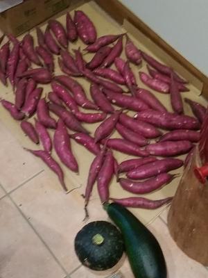 171015さつまいも収穫.png