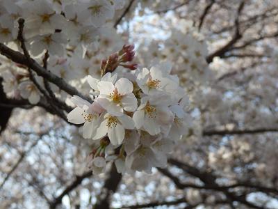 2018ぴんたん桜.png