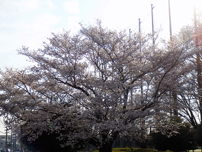 2018ぴんたん桜1.png