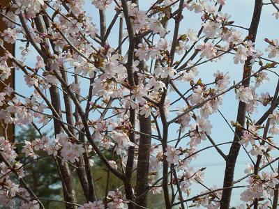 かめちゃん桜.png