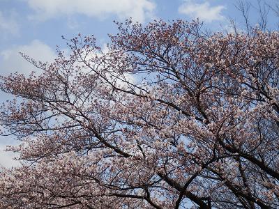 ぴんたん桜2017.png