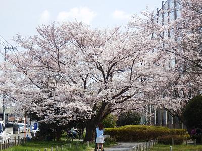 ぴんたん桜2017-2.png