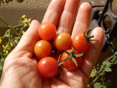 まだプチトマト.png