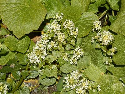 わさびの花.png