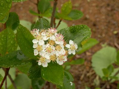 チョコベリー花.png