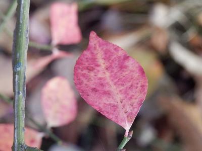 ニシキギ紅葉.png