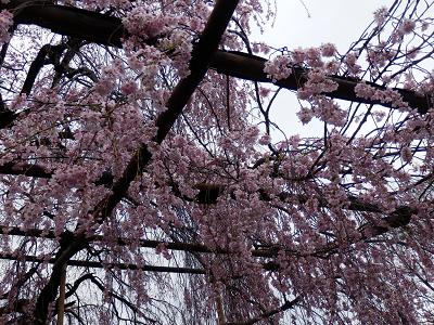 実相寺 見上げると桜.png