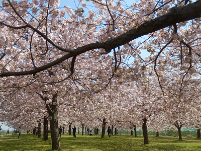 小布施桜1.png