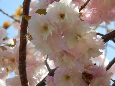 小布施桜2.png