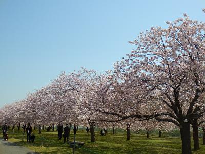 小布施桜3.png