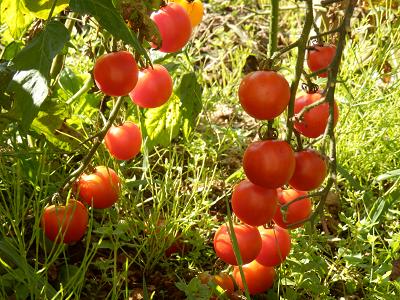 庭のプチトマト.png