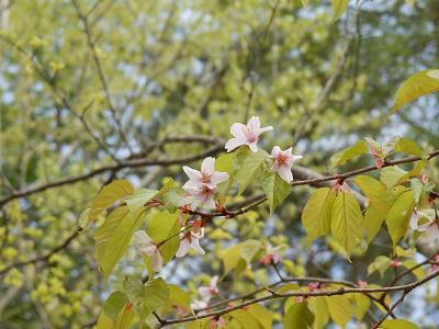 庭の桜.png