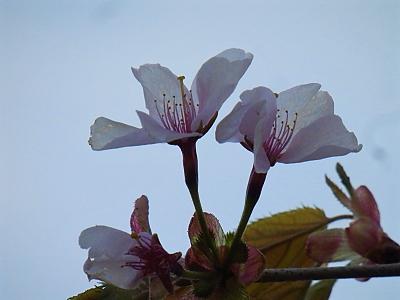 庭の桜2018.png