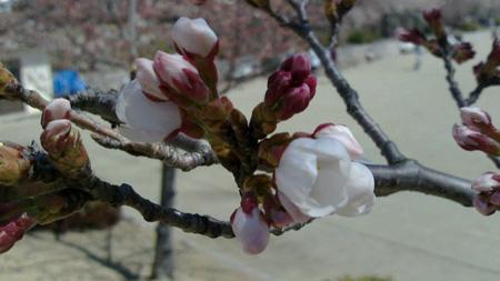 桃源郷の桜.jpg
