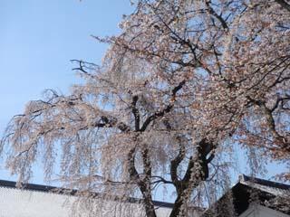 満開の桜.JPG