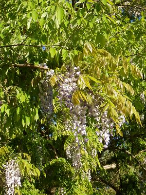 畑藤の花2.png
