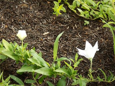 白い桔梗.png