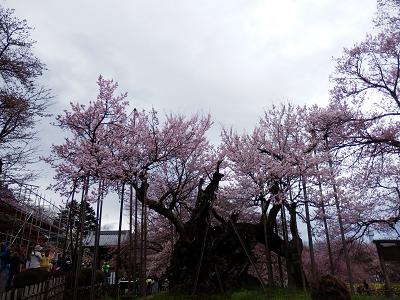 神代桜.png