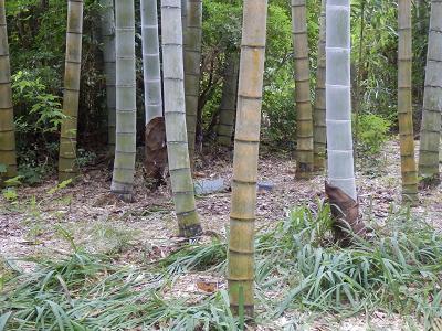 竹の小径 若竹.png