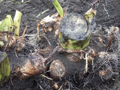 181104里芋収穫.png