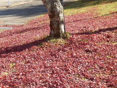 丘の公園紅葉絨毯.png