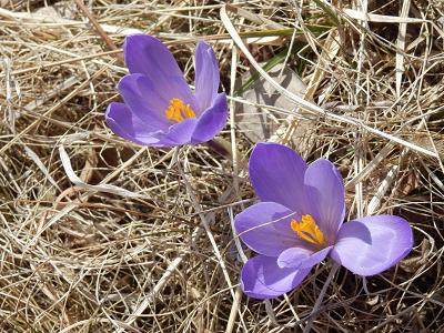 紫クロッカス2018.png