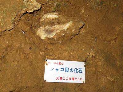 鍾乳洞シャコ貝の化石.png