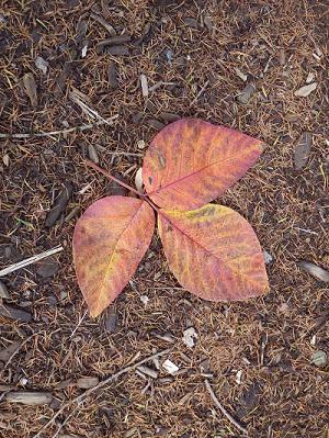 3枚葉の落ち葉.png